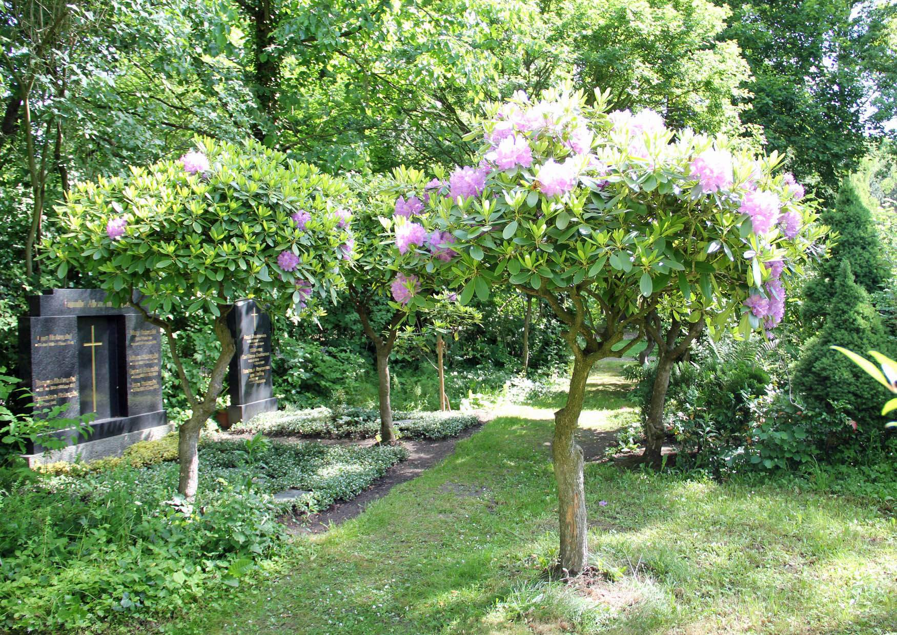 rhododendron b ume auf dem leipziger s dfriedhof. Black Bedroom Furniture Sets. Home Design Ideas