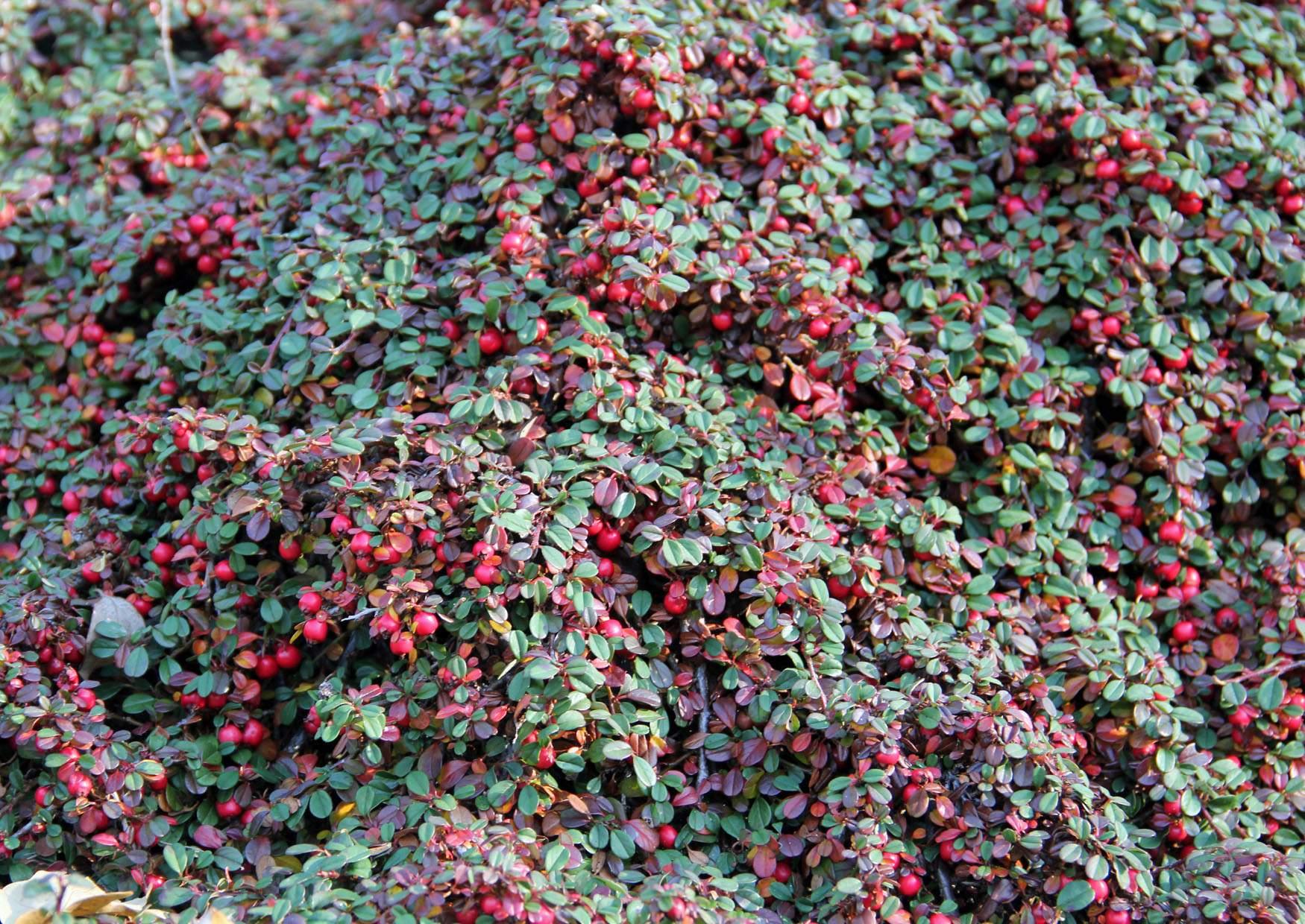 Aus China cotoneaster dammeri eine TeppichZwergmispel